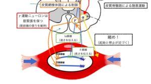 脊髄反射システム