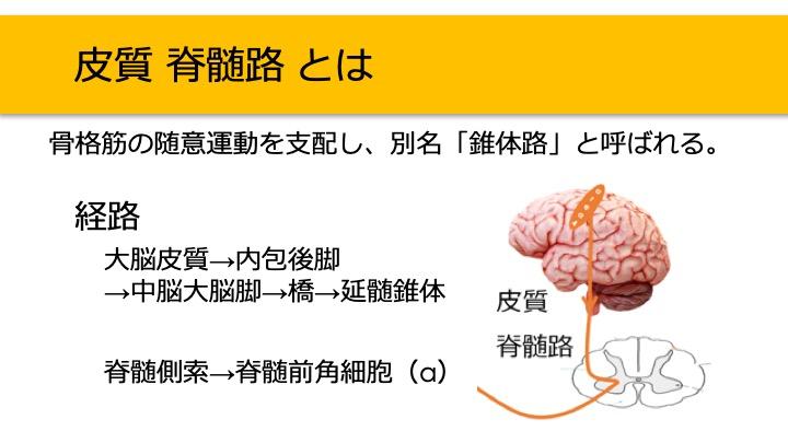 皮質脊髄路
