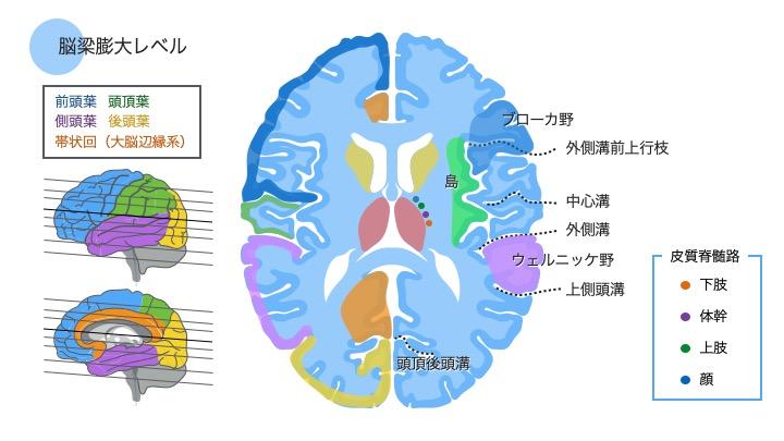 【脳機能】脳の血管支配領域について