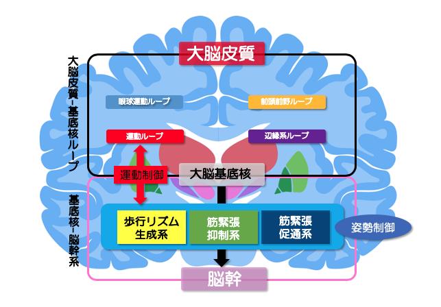 基底核ー脳幹種類